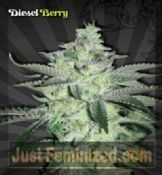 Automatic Diesel Berry Marijuana Strain Buy Safe UK Supplier